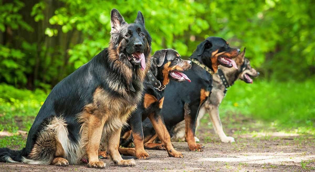 Какую сторожевую породу собак лучше завести для охраны в частный дом