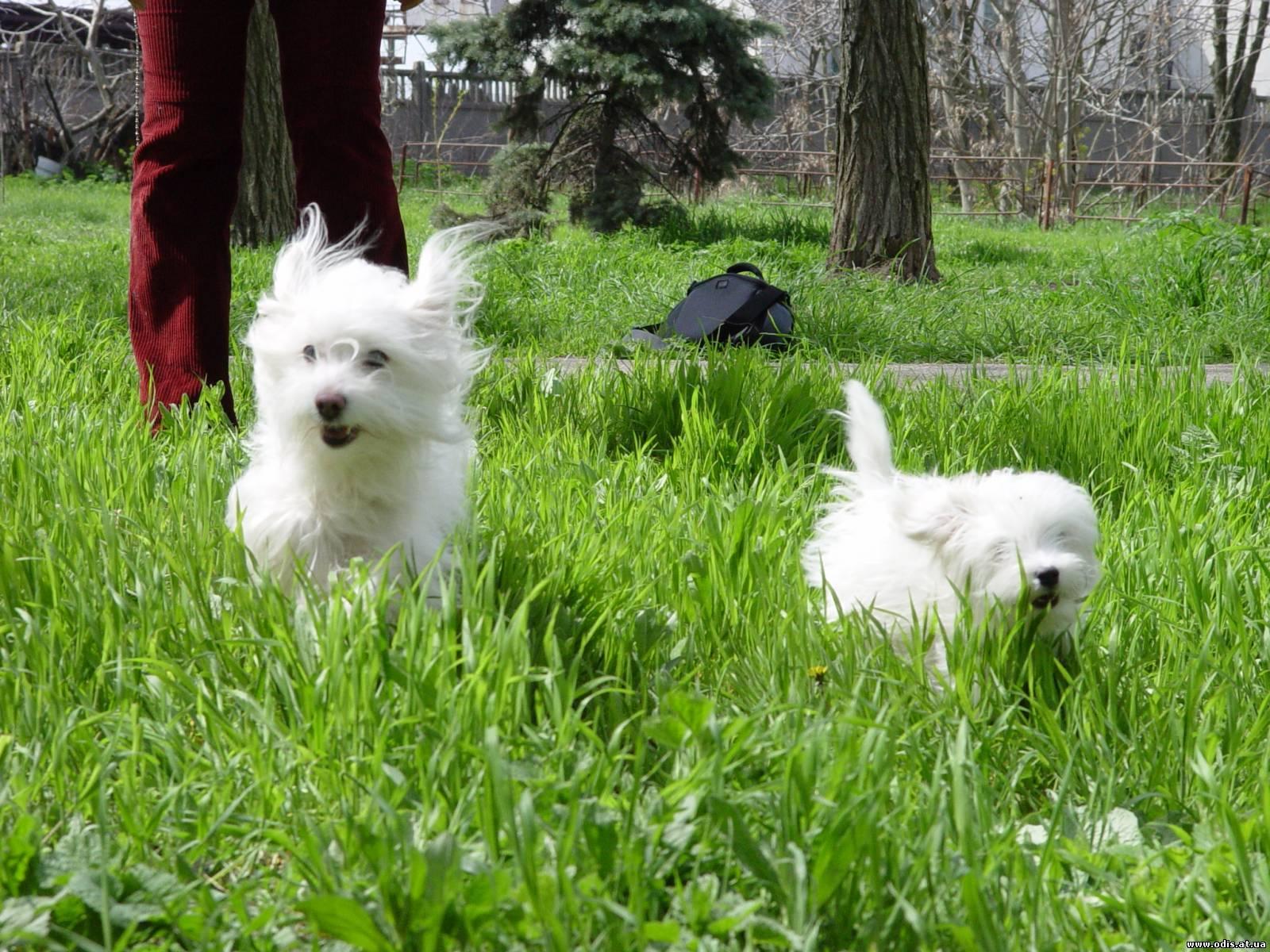 Украинская порода собак одис, молодая, но исключительно интересная