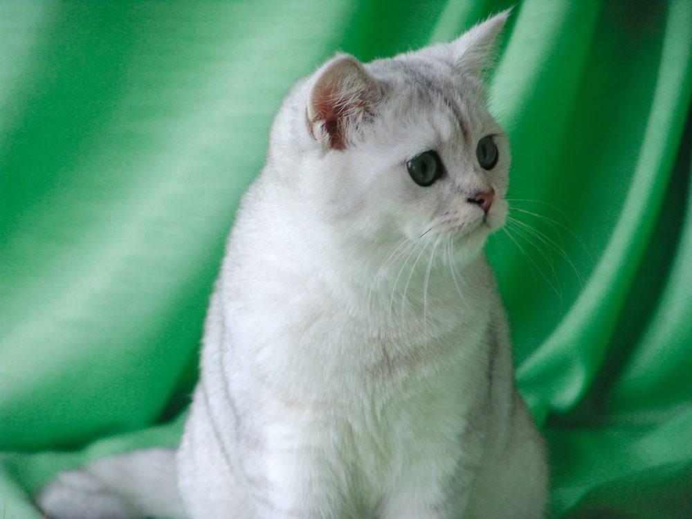 Бразильская короткошёрстная кошка: описание породы, характер, фото