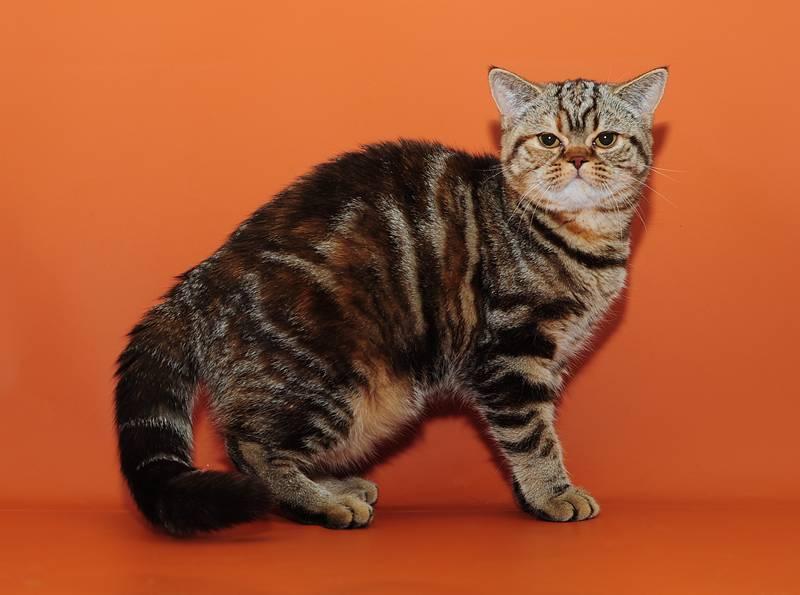Мраморная кошка (классический табби): особенности окраса, породы, фото
