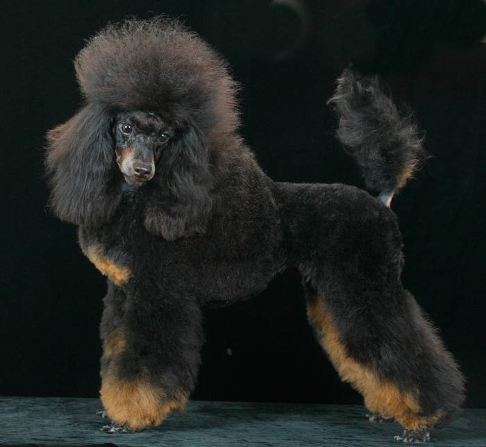 Что такое пудель? 86 фото описание красных щенков, пуделей арлекин и других пород. вес собак. как за ними ухаживать? сколько они живут?