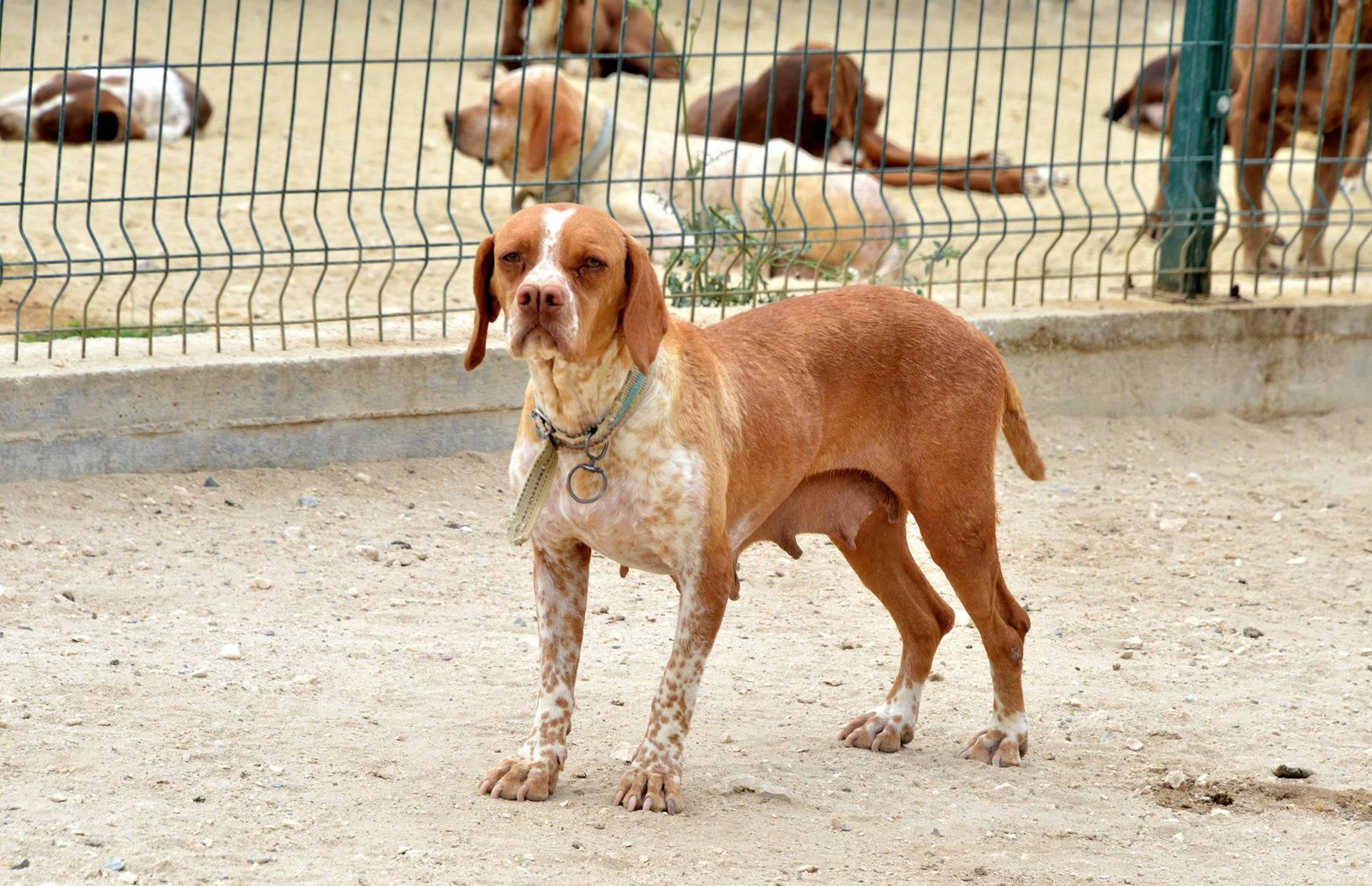 Каталбурун (турецкая гончая): описание породы собак с фото и видео