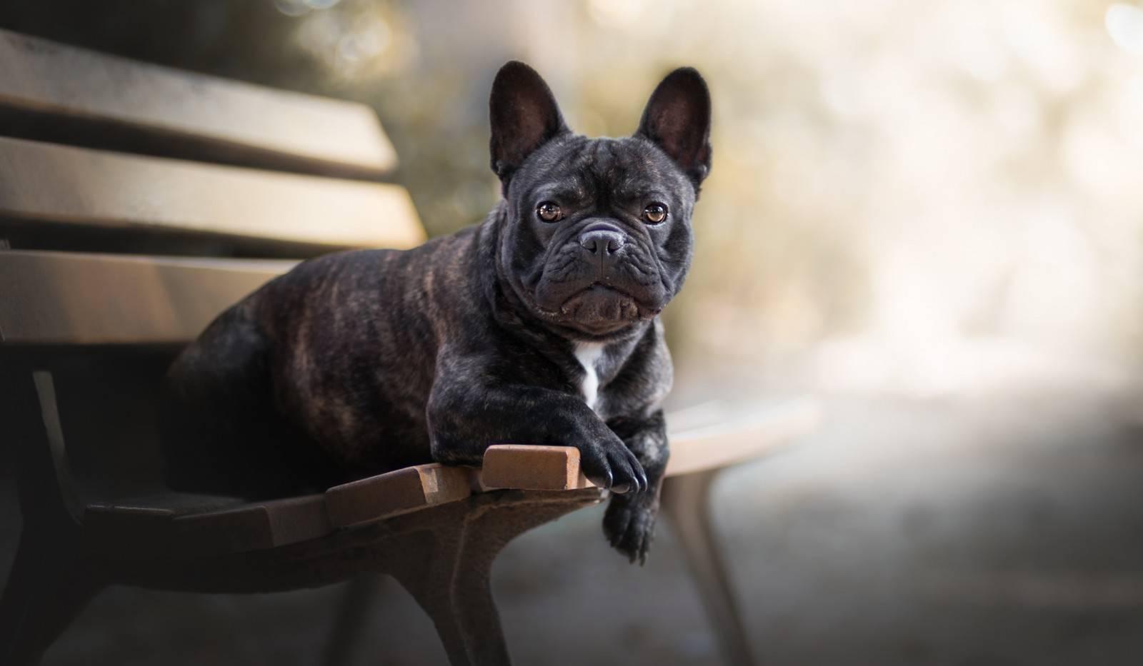 Французский бульдог – описание породы, характер