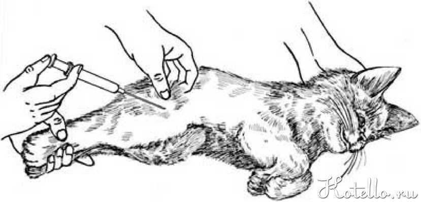 Как поставить укол кошке внутримышечно | как и куда делать, видео