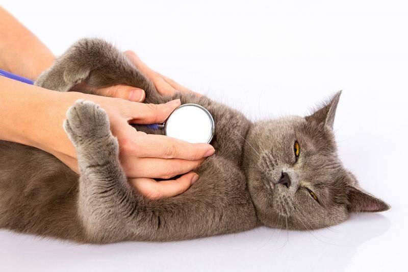Острая сердечная недостаточность у кота лечение - муркин дом