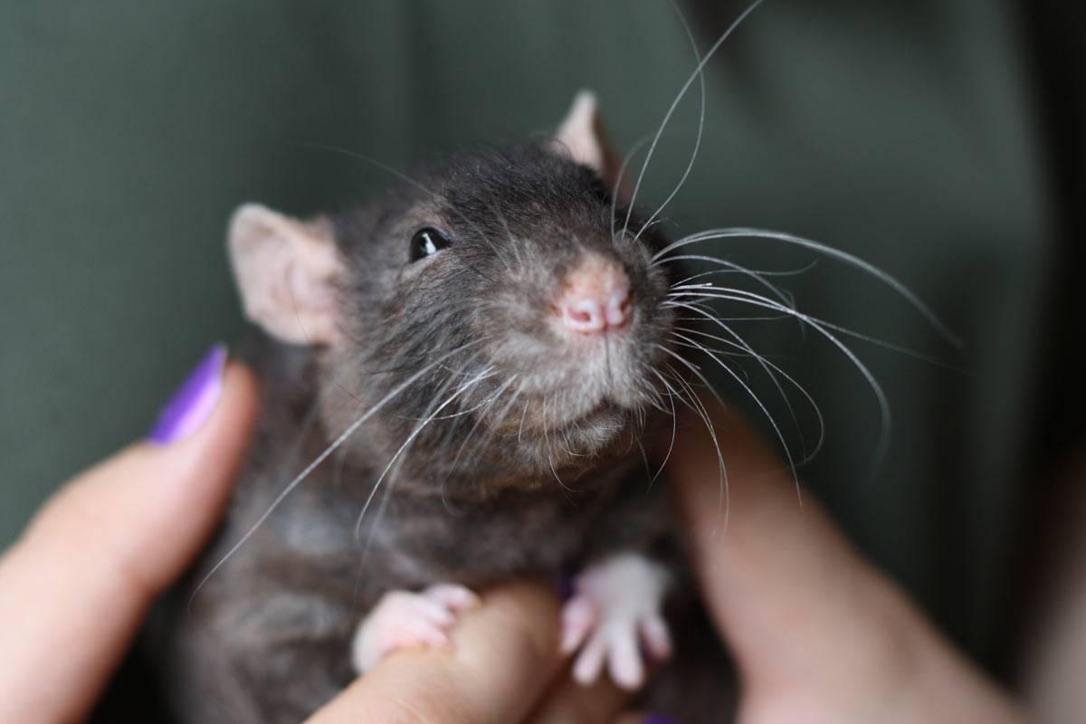Что делать если укусила крыса за палец, насколько это опасно?