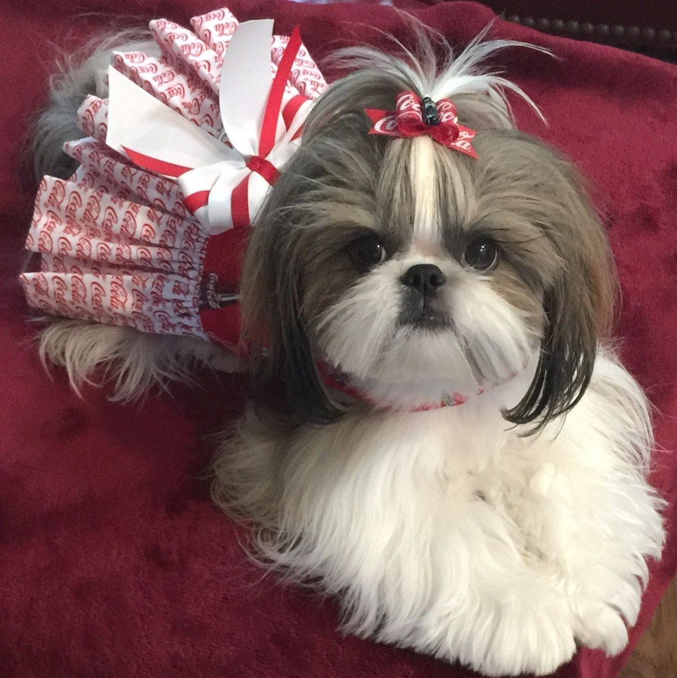 Правила ухода и содержания собаки породы ши-тцу