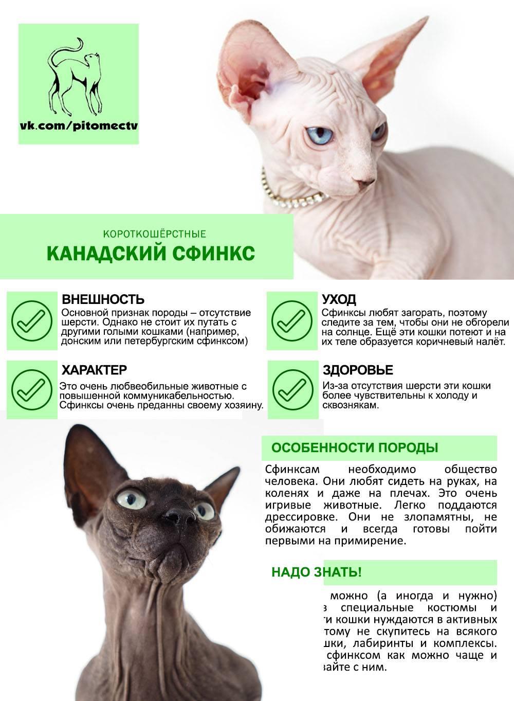 Особенности характера кошек породы сфинкс