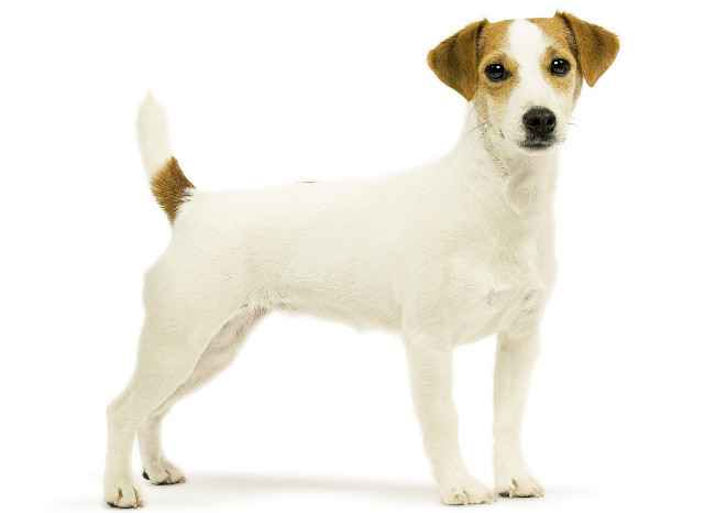Парсон рассел терьер - описание, темперамент и характер собаки, выращивание щенков, питание и уход