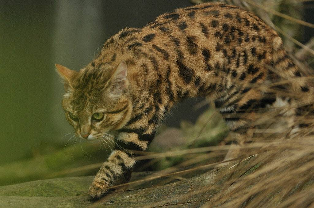 Черноногая кошка: фото, описание, характер, внешний вид и среда обитания