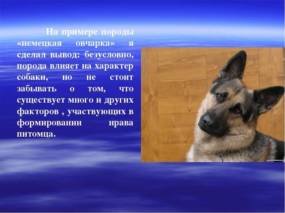 Московская сторожевая: фото, описание породы, питомник, купить щенка