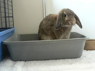 Как приучать кролика к лотку