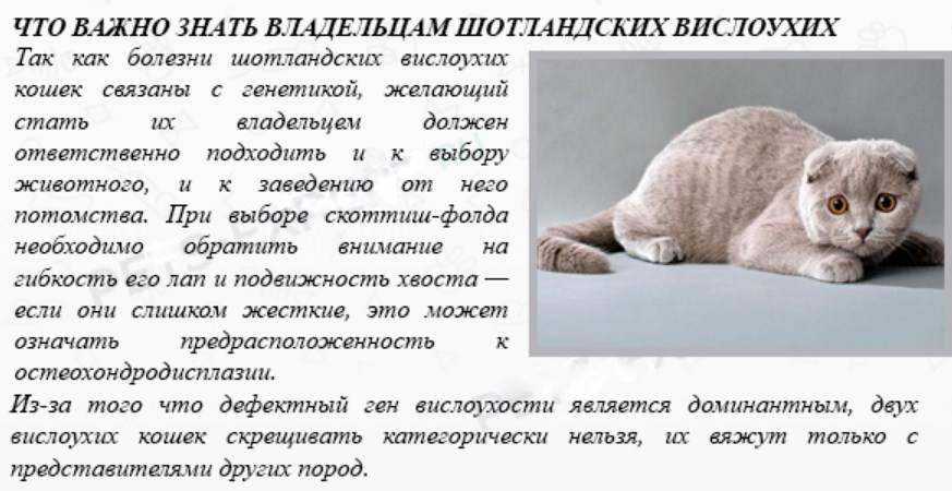 Прямоухая шотландская кошка: описание, фото