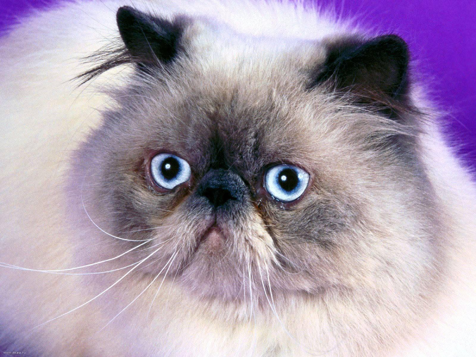 Гималайская кошка - фото и описание (характер, уход и кормление)