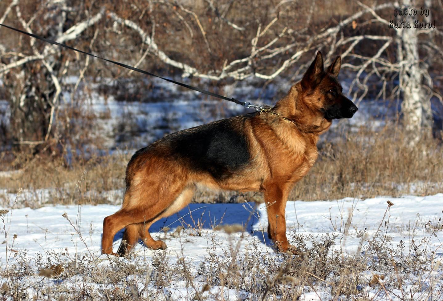 Окрасы немецкой овчарки — чепрачный, зонарный, рыжий и другие, их особенности, фото и описание собак