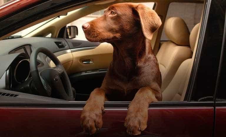 Что делать, если собаку укачивает в машине,