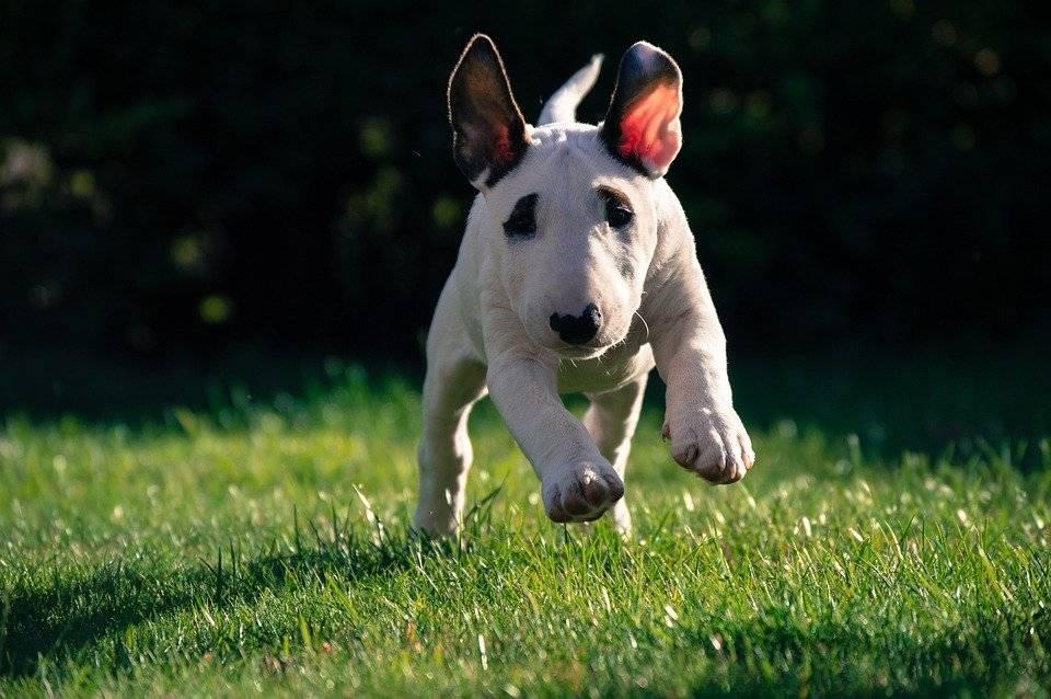 Стаффордширский бультерьер (staffordshire bull terrier)
