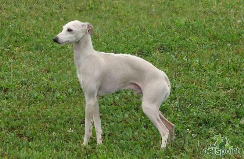 Левретка —  порода собак для леди и джентльменов