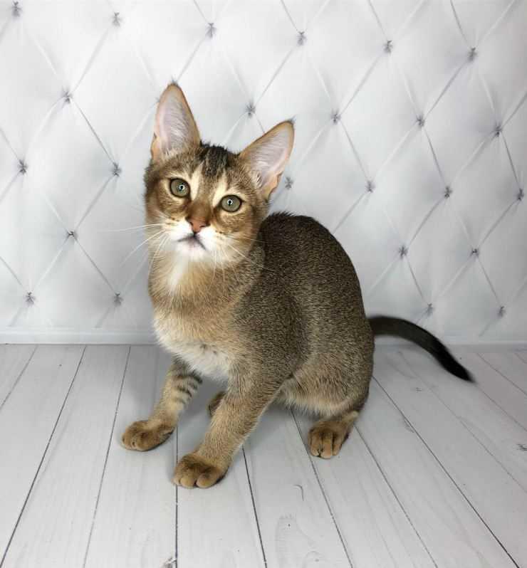 Кошка чаузи: миниатюрная рысь в доме