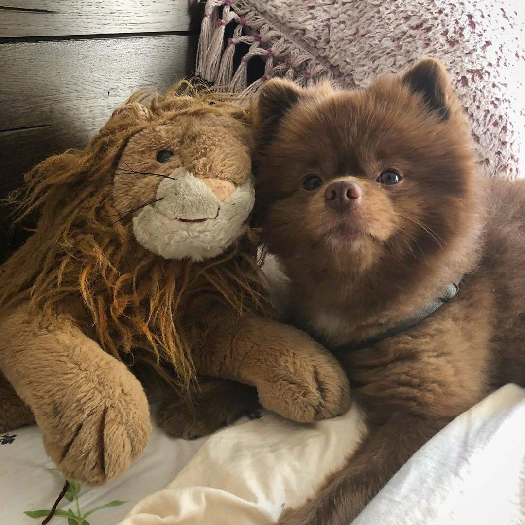 Названия маленьких и больших пород собак, которые сильно похожи на медведей