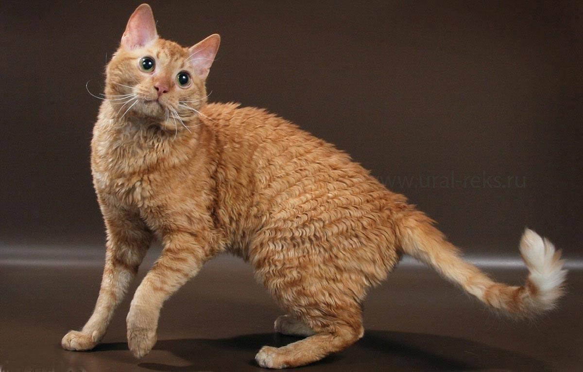 Уральский рекс: описание породы кошек, фото и видео материалы, отзывы о породе