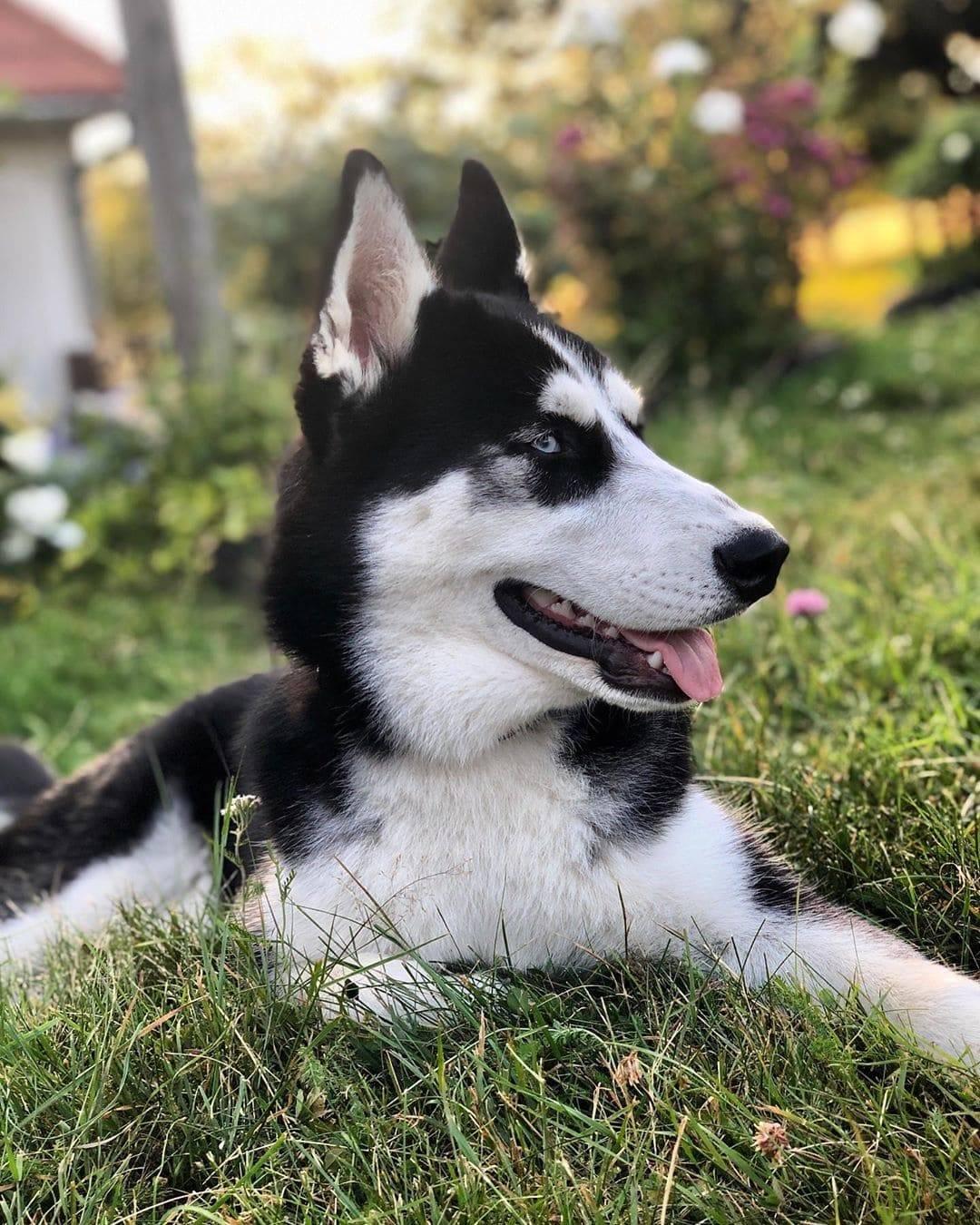 Хаски: фото взрослых собак и щенков, основные окрасы, отличия мальчика от девочки и как выглядит подстриженный питомец