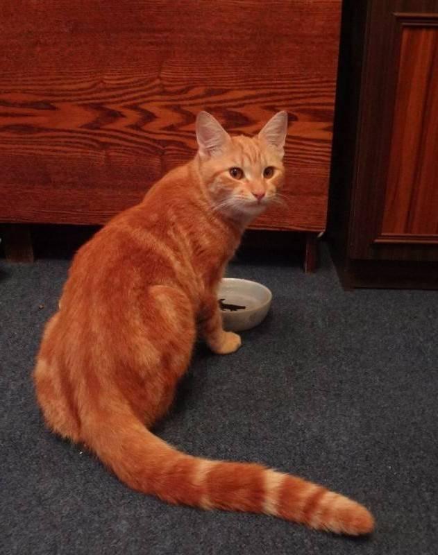 Рыжий кот в доме: приметы, значение