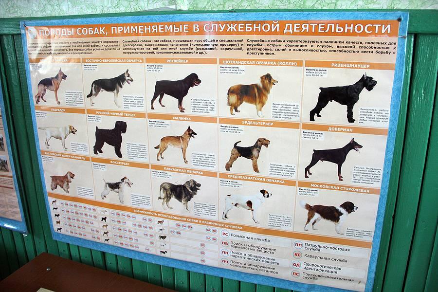 Происхождение, классификация и назначение собак - собаководство - собственник