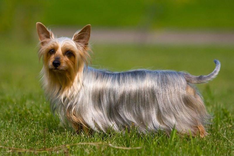 Австралийские терьеры (35 фото): описание пород, характер австралийской шелковистой собаки и силки. содержание щенков