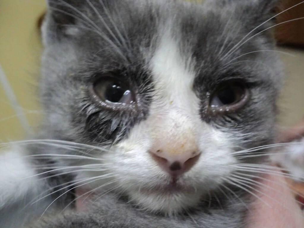 Коронавирус у кошек: симптомы и лечение - ветеринарные статьи специалистов клиники «джунгли»