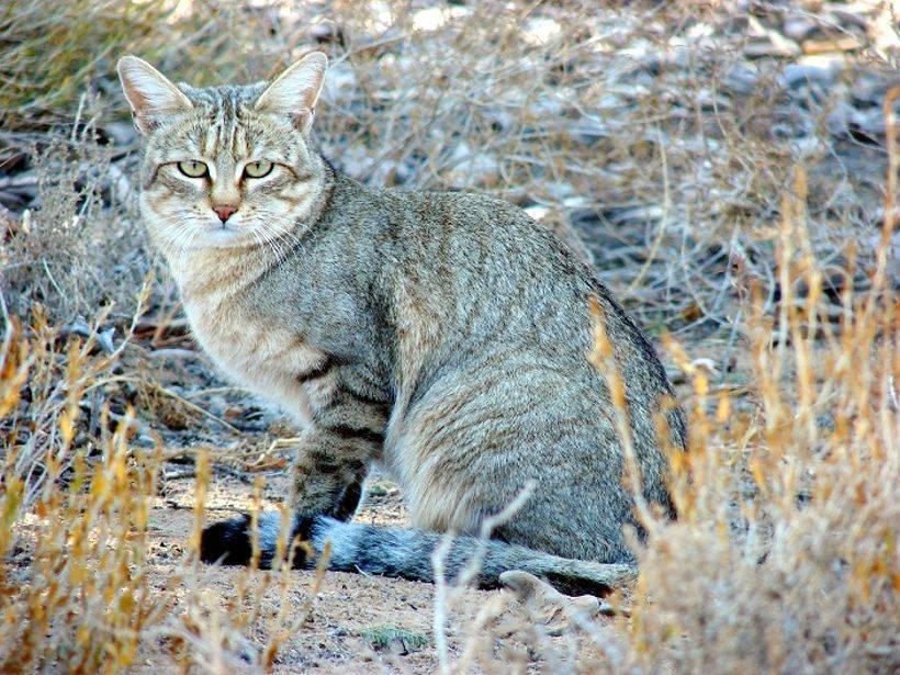 Степной кот: описание, поведенческие особенности и уровень угрозы вымирания для вида