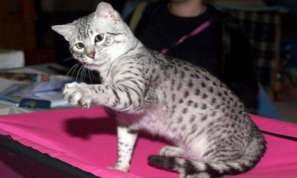 Египетская мау: правила ухода, описание породы кошек и характер