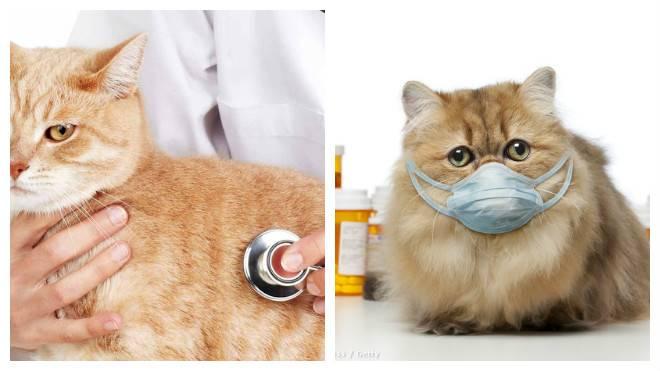 Кот или кошка кашляют: почему, как лечить кашель у котенка и взрослого животного