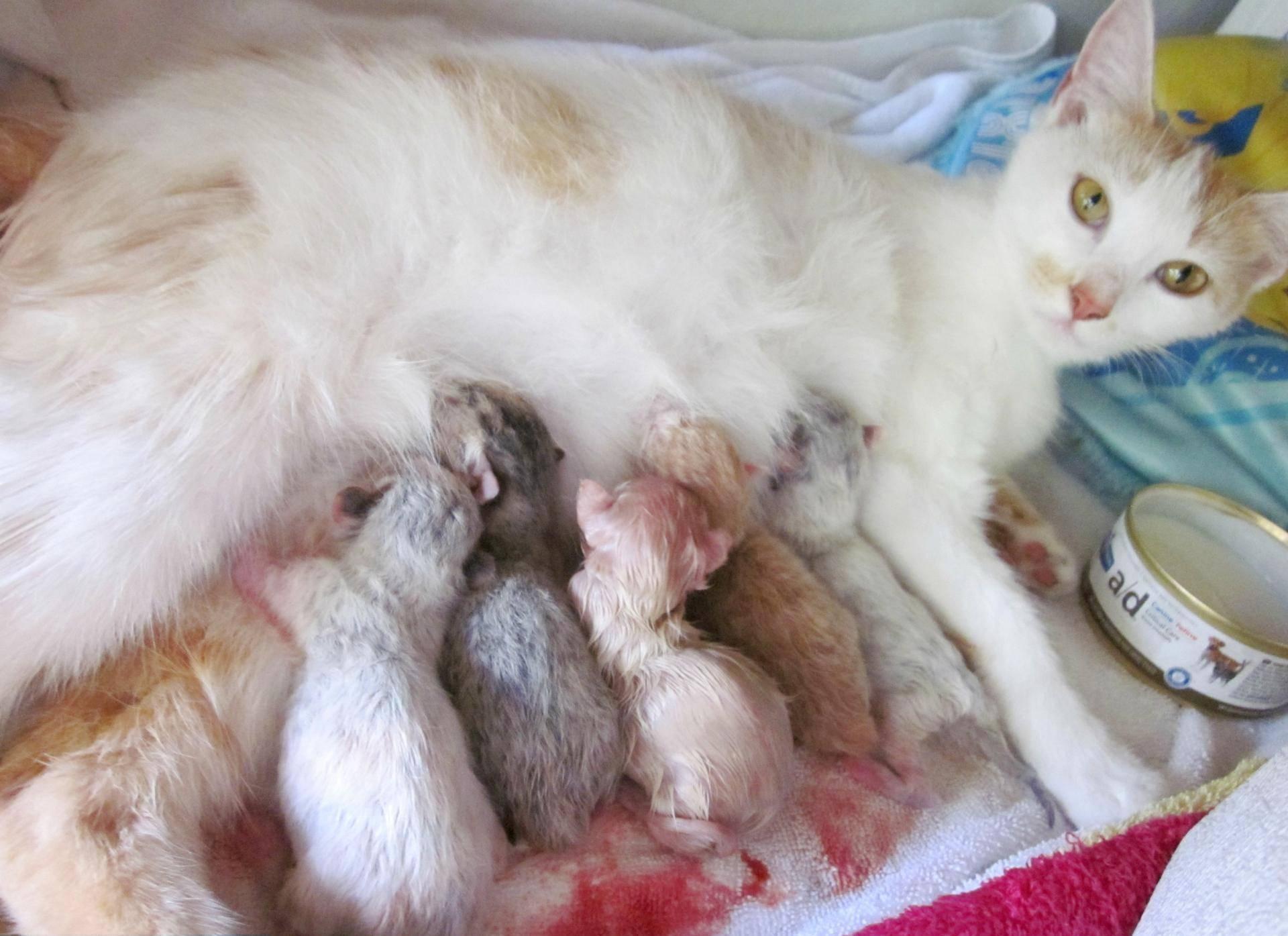 Может ли кошка родить одного котенка или не всех сразу