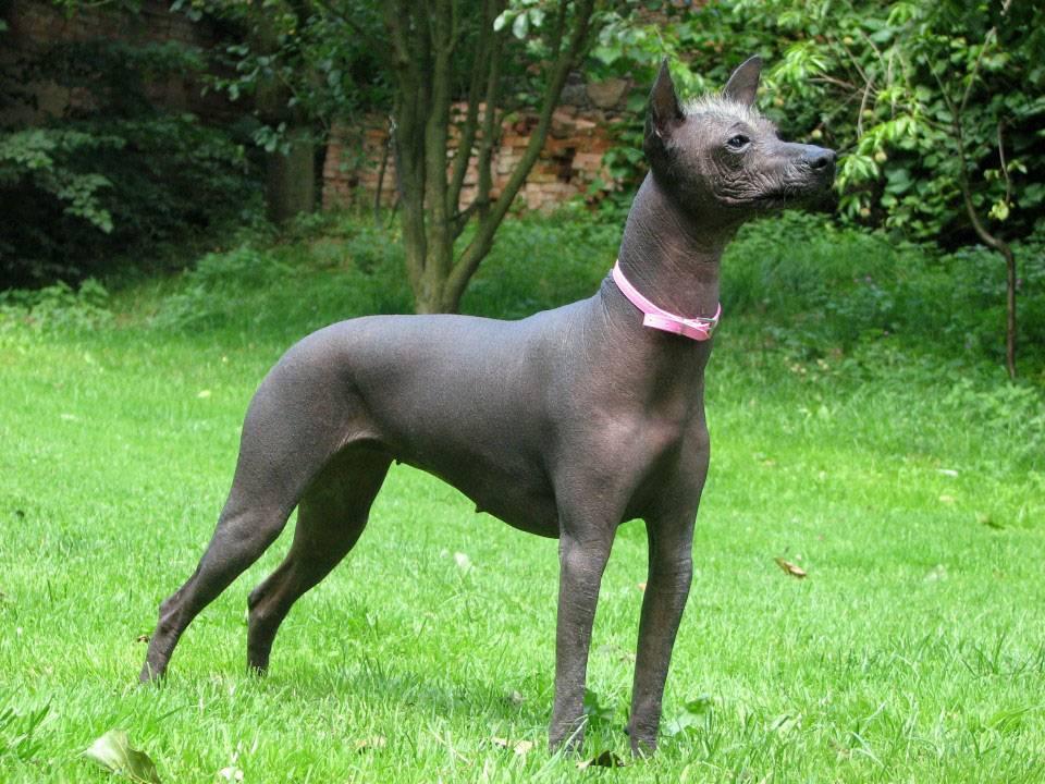 Лысые собаки: особенности, лучшие породы и правила ухода
