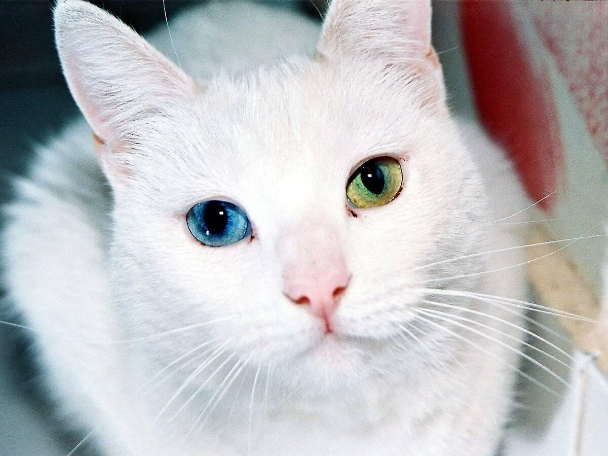 Кошки » породы » као-мани