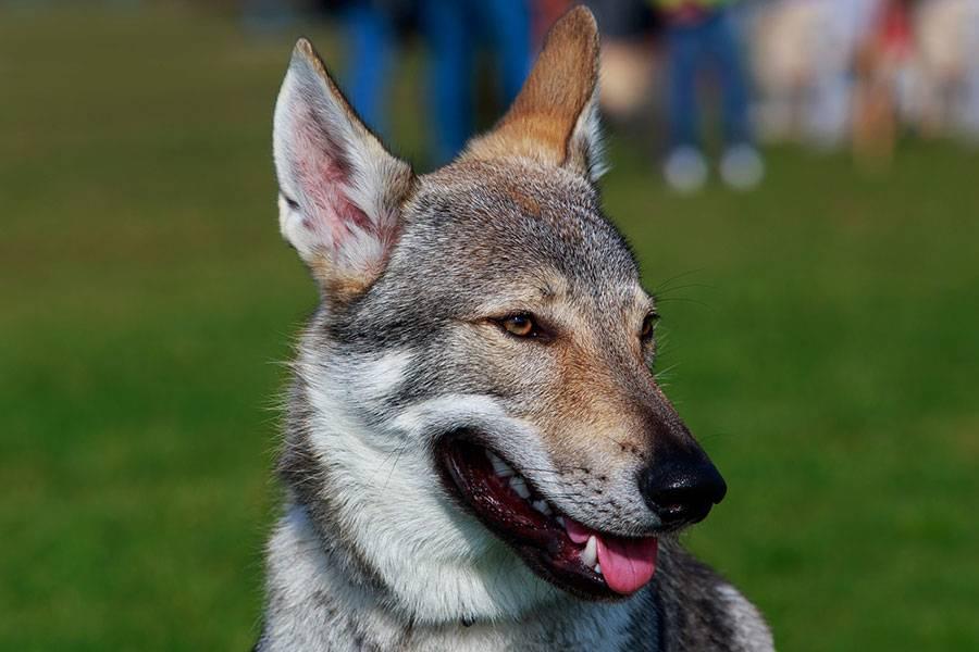 Чехословацкий влчак или волчья собака фото, купить волчака в москве, цена овчарки