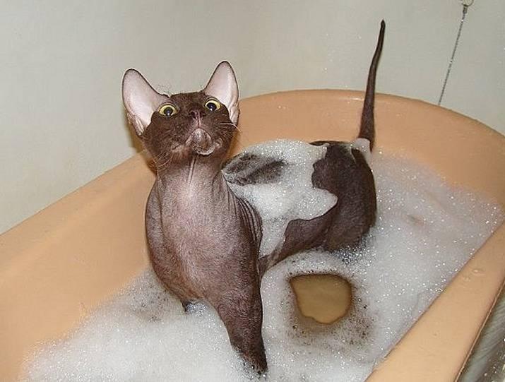10 пород кошек, которые не боятся воды