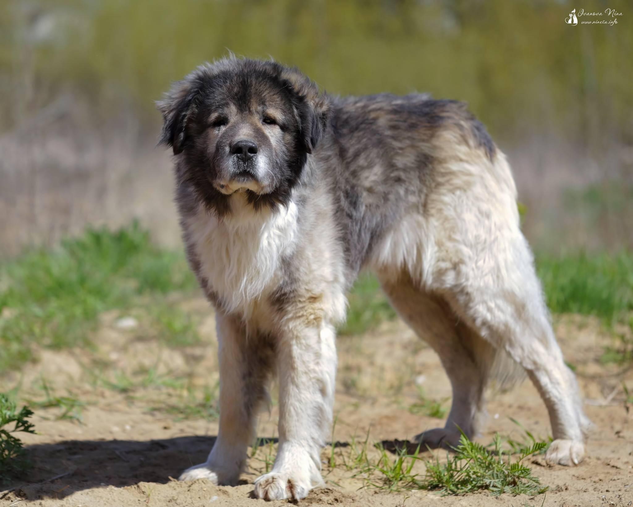 Кавказская овчарка: описание породы и характера, сколько живут