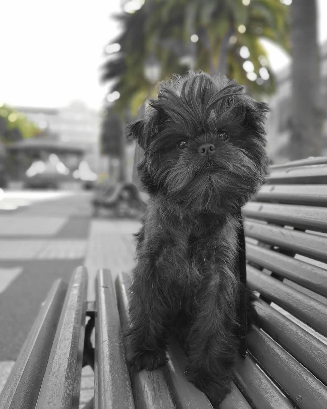 Аффенпинчер собака. описание, особенности, уход и цена аффенпинчера | животный мир