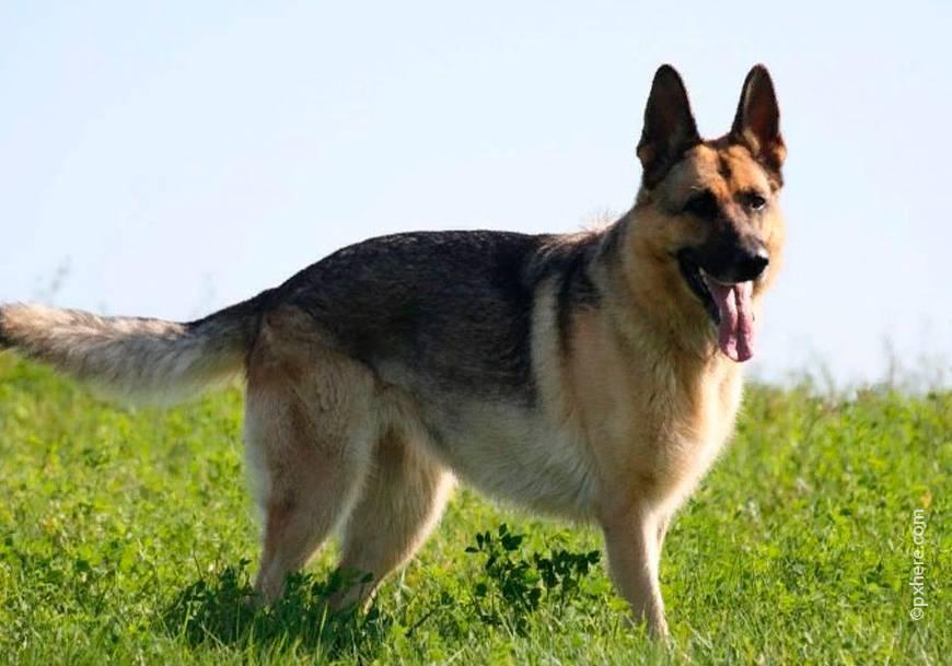 ᐉ самая сильная собака в мире по боям - zoomanji.ru