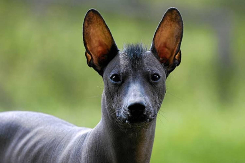Породы собак без шерсти: мексиканский терьер, китайские хохлатые, прочие псы