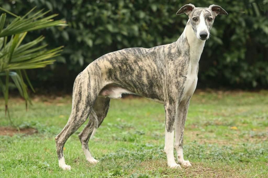 Порода грейхаунд: самая резвая собака на планете. описание породы грейхаунд