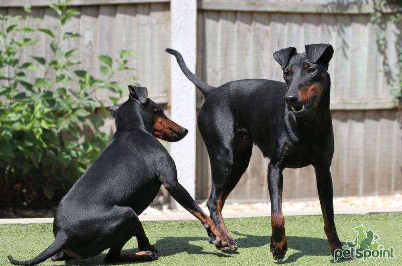 Характеристика собак породы манчестер терьер с отзывами и фото