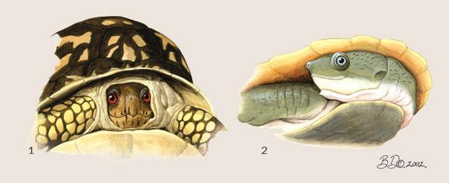 Характеристика черепах