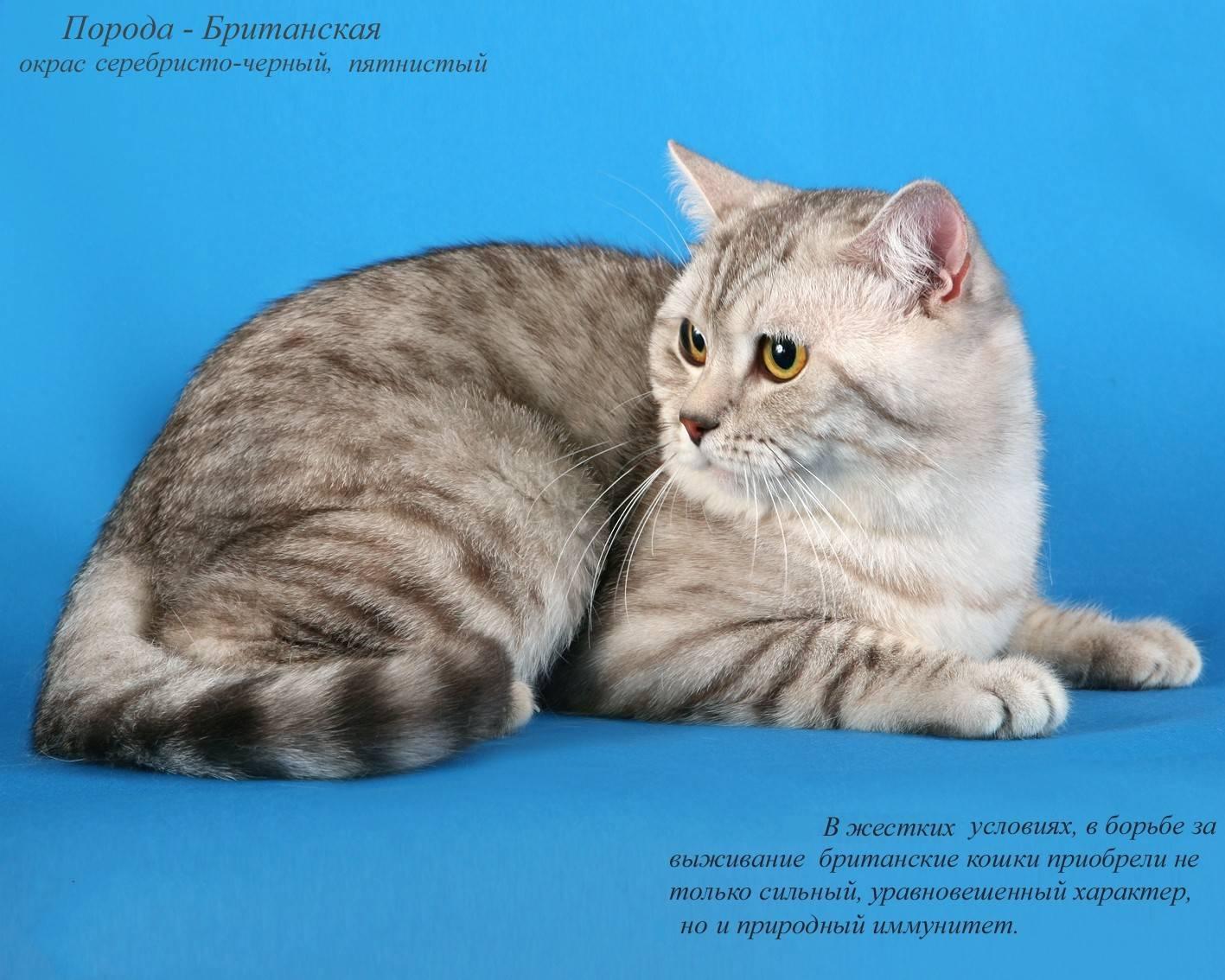 Европейская короткошерстная кошка - описание породы