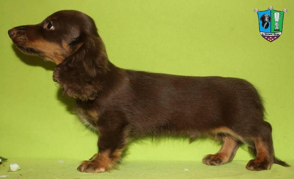 Разновидности собак породы чихуахуа. длинношерстные, мини, карликовые и иные типы