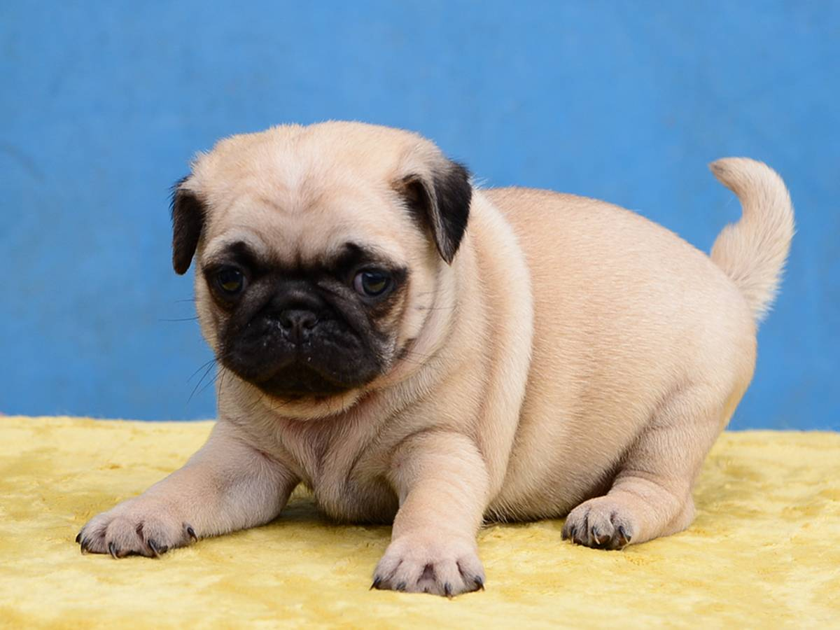 Мопсы (57 фото): описание породы, характер маленьких собак. как выглядят щенята? выбор одежды, окрасы, плюсы и минусы породы. отзывы владельцев