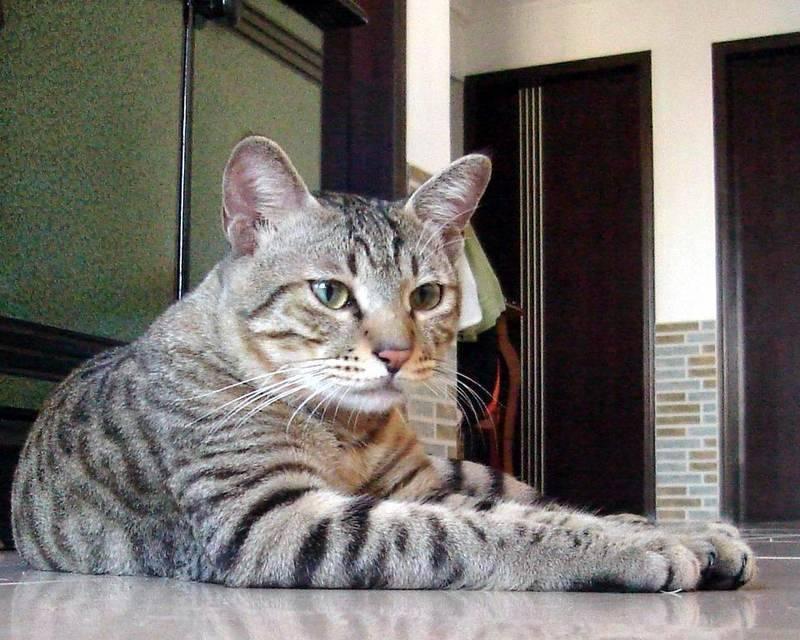 Как выглядят китайская горная порода кошек: подробное описание вида