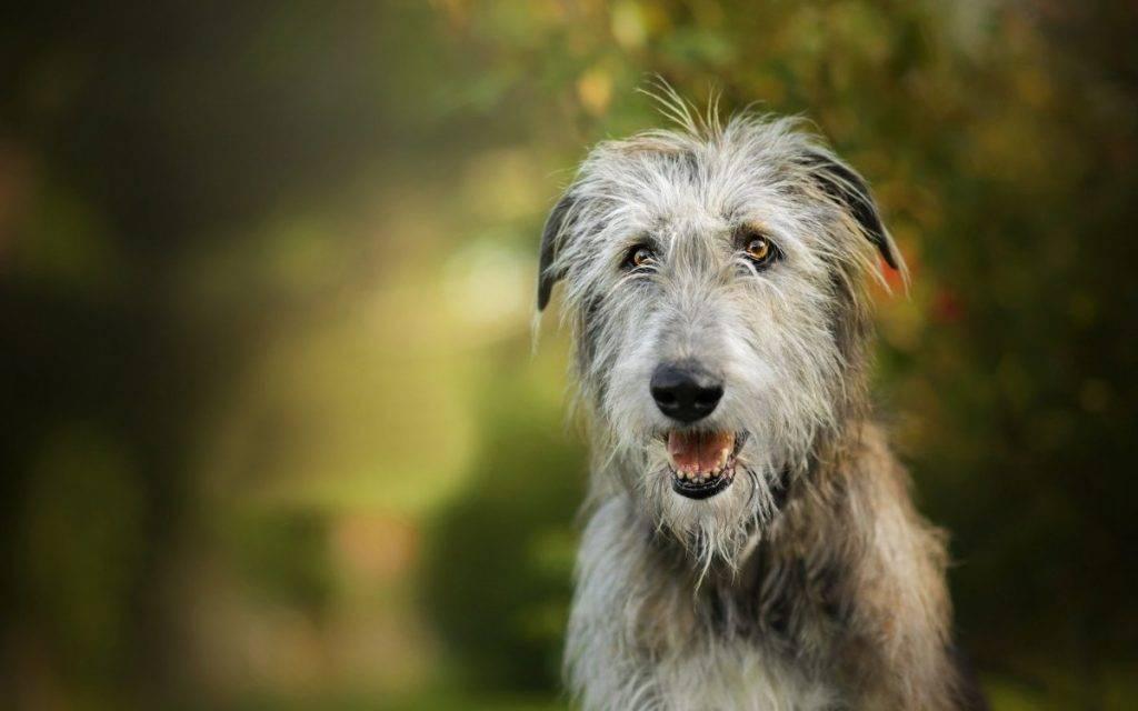 Ирландский волкодав: фото (щенков, метисов и собаки с человеком), цена, питомники, описание и характеристика породы, сколько живут, рост, а также отличия с дирхаундом